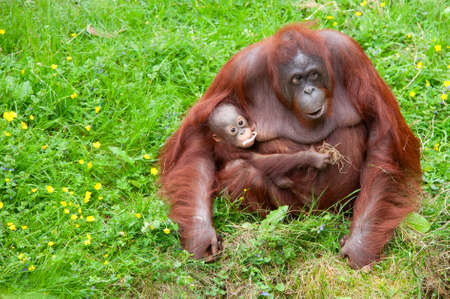 Mother orangutan with her cute baby in the grass photo