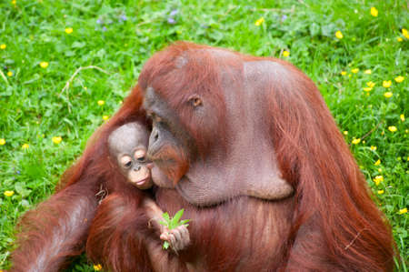 Mother orangutan kisses her cute baby in the grass photo