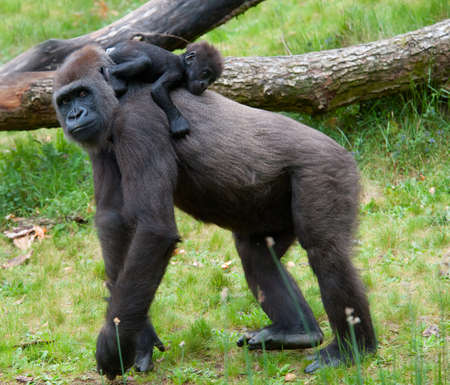 Nahaufnahme von einer Mutter, Gorilla und ihr süßes Baby Lizenzfreie Bilder - 9993676