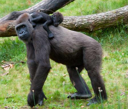 primer plano de una madre gorila y su bebé lindo