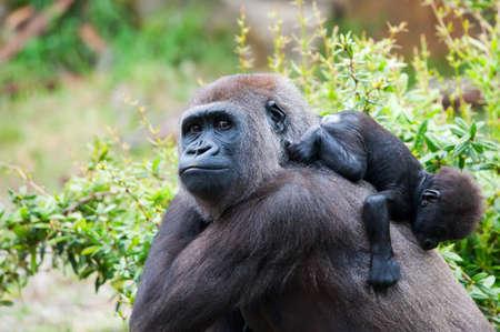 close-up von einer Mutter, Gorilla und ihr süßes Baby