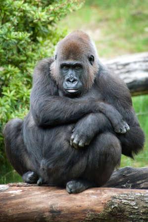 close-up of a female silverback gorilla