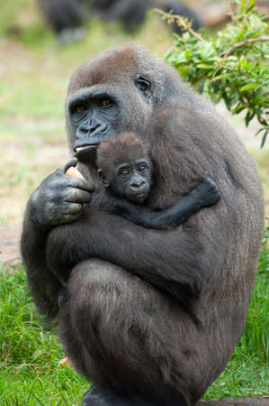 close-up of a mother gorilla and her cute baby Zdjęcie Seryjne - 9993667
