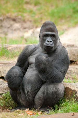 gorilla: Primer plano de un gorila de espalda plateada macho grande Foto de archivo