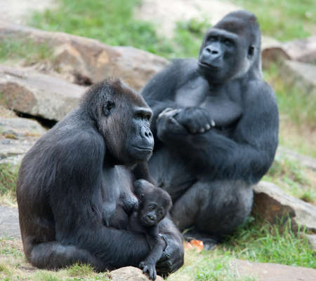 close-up of a mother gorilla and her cute baby Stock Photo - 9993677