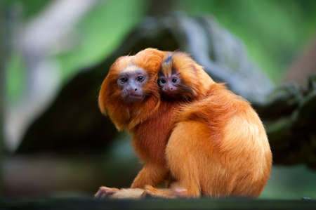 A golden lion tamarin with baby (Leontopithecus rosalia) Stock Photo