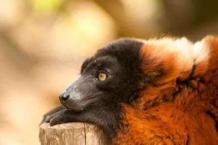 a beautiful red ruffed lemur (Varecia rubra) Stock Photo - 9993685
