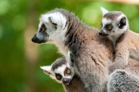 close-up of a ring-tailed lemur with her cute babies (Lemur catta) Zdjęcie Seryjne - 9993679