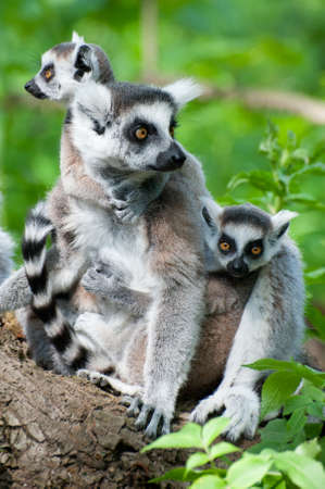close-up of a ring-tailed lemur with her cute babies (Lemur catta) Stock Photo - 9993673