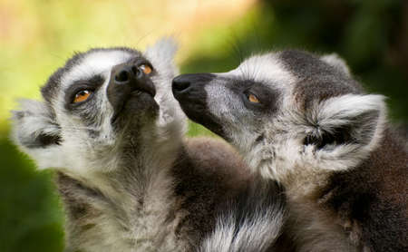 portrait of two ring tailed lemurs (Lemur catta)