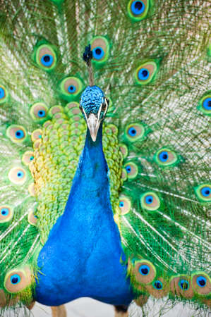 beautiful male indian peacock showing its feathers (Pavo cristatus) Stock Photo - 9993697