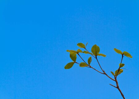 The highest point of Terminalia catappa Stock Photo - 9391190