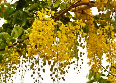 The golden shower blossom Stock Photo - 9391194