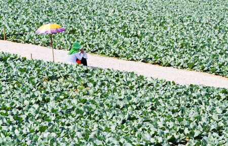a woman farmers under umbrella in cabbage garden