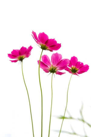 Four pink daisy on white background