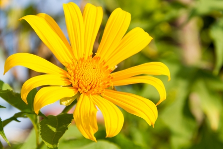 A single yellow daisy blossom in garden