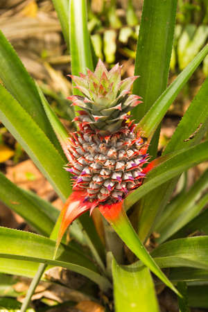 Fresh tropical pineapple on the tree in farm ,thailand photo