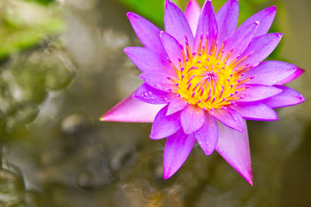 The purple lotus flower holds great symbolic meaning in a number stock photo the purple lotus flower holds great symbolic meaning in a number of cultures especially in asia thailand and egypt going back thousands of mightylinksfo