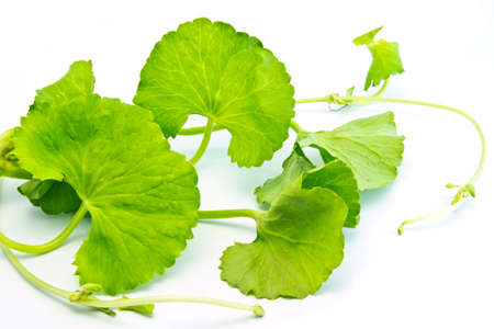 Herbal Thankuni leaves of Indian subcontinent over white background