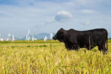 balck Buffalo in the farm rice in the nature photo