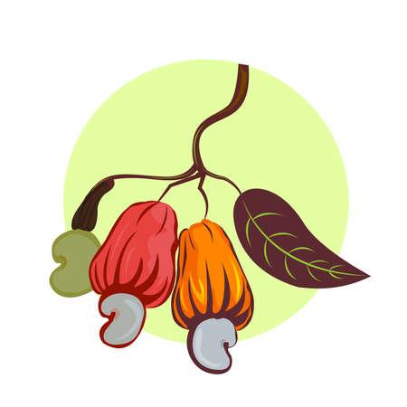 캐슈 너트의 그림입니다. 세 가지 멀티 채색 된 과일 오렌지 노란색 빨간색과 흰색 배경에 잎 캐슈 너트 트리를 분기합니다. 일러스트