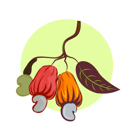 illustration of a cashew nut. Branch cashew nut tree with three multi-colored fruits orange yellow red and leaves on a white background.