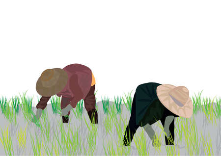 Workers collect rice harvest on the field. Vector illustration