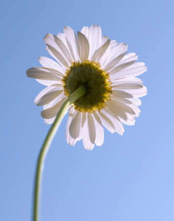 foreshortening: Camomile from the lower angle, shine through petals Stock Photo