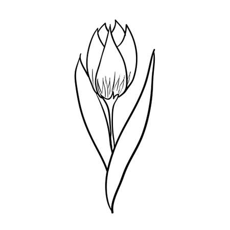Vector hand drawn tulip. Black sketch on white background. Vector