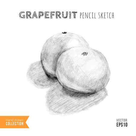 grapefruits: Two grapefruits hand drawn pencil sketch. Training drawing. Vector illustration.