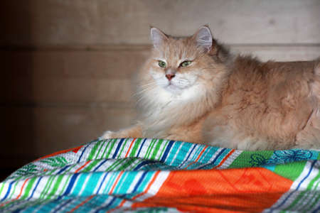 pet cat: Pet. Siberian purebred cat on a bed. Stock Photo