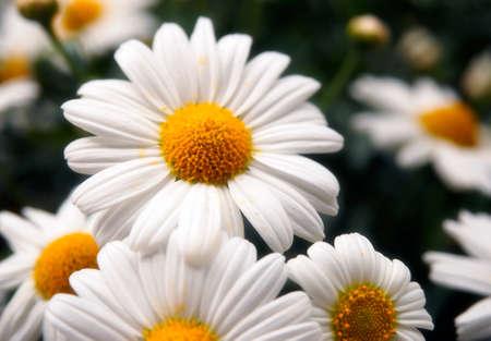p�querette: Gros plan d'une belle marguerite blanche. Banque d'images