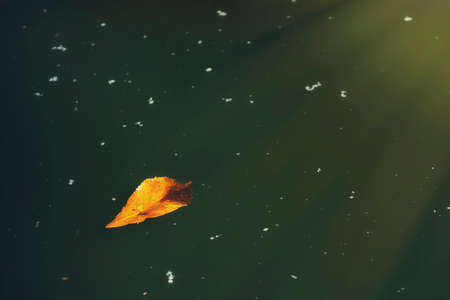 fallen leaf: Fallen leaf floating on the calm water. Stock Photo