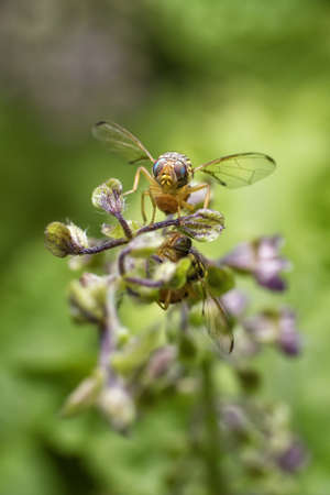 invade: Macro photography of the fruit fly is tasting the sweet of the basil flowers