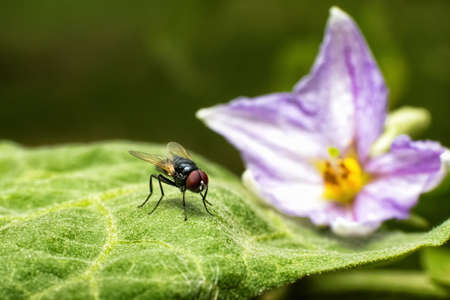 intervene: macro photography of the fly stay on leaves of eggplant and the flower
