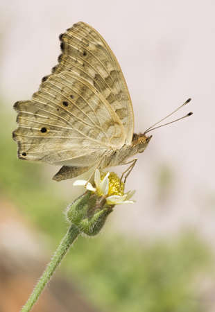 Butterfly sip nectar from flower in pink garden