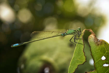 Damselfly stick tight to decay leaves, take a rest and sun bathing by soft light in evening at my backyard garden Stock Photo
