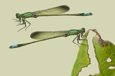 omnipresent: Little Damselfly take a rest on decay leaves, isolated on light green color background