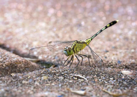 omnipresent: Humble dragonfly on the footpath bricks, macro photography on nature light