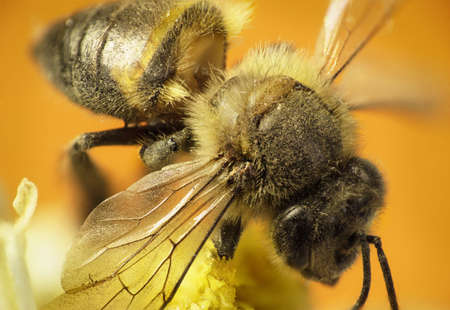 Worker bee sip nectar on the yellow flower, on warm background Stock Photo