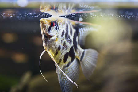 Freshwater angelfish or Marbled Angelfish that has a black, white, and yellow marbled pattern. Selective focus and dramatic lighting