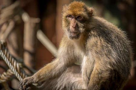 barbary: Barbary macaque Stock Photo