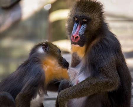 Mandrill monkey feeding milk to its baby