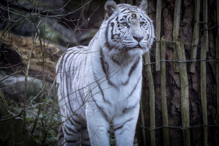 Snowy white tiger