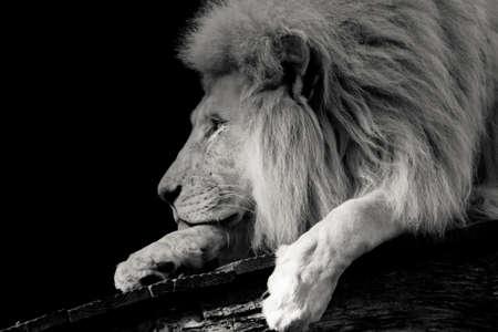 사자의 낮은 키 흑백 초상화 스톡 콘텐츠