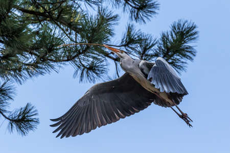 Flying blue heron bird