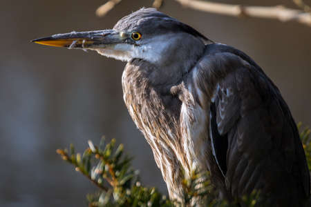 Portrait of great blue heron 写真素材 - 96118344