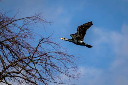 Flying cormorant bird