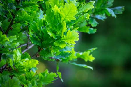 Green oak tree leaves