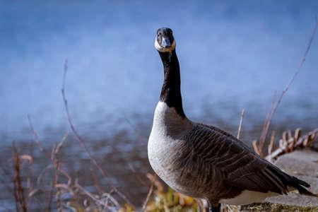 Portrait of Branta goose Stock Photo